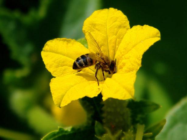 Опыление огурцов пчёлами