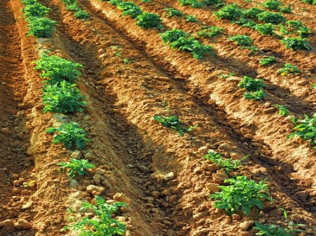 Посадка картофеля на гребни