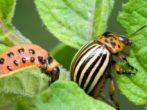 Колорадский жук и его личинка