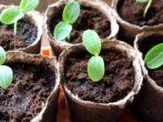 Защитим рассаду огурцов от болезней и вредителей