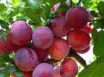 Сливы Ренклод —идеальный вариант для садовода-новичка