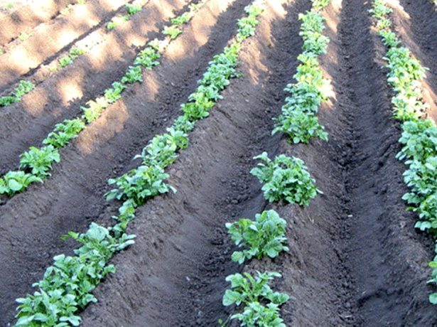 Гребневый способ посадки картофеля