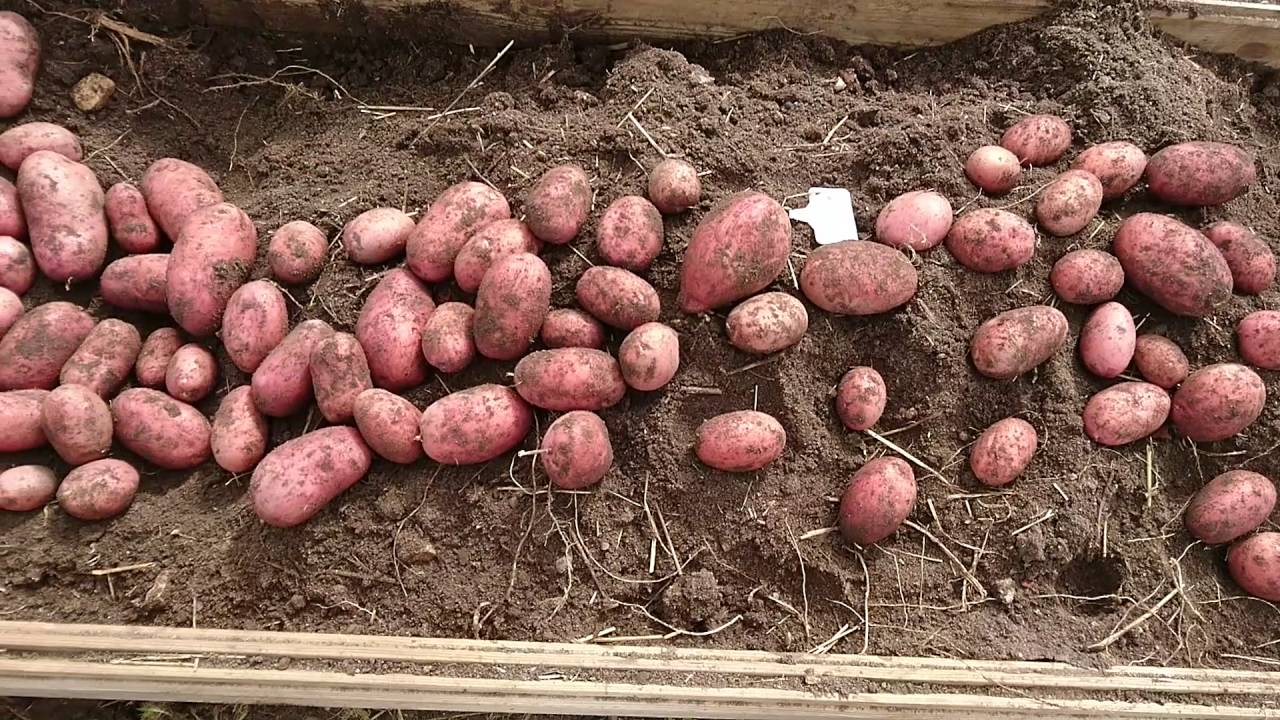 Сорт картофеля рокко характеристика отзывы