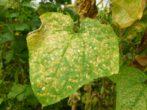 Серая гниль на листьях кабачка