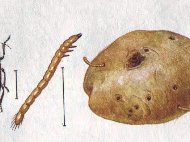 Жук-щелкун и вредитель-проволочник