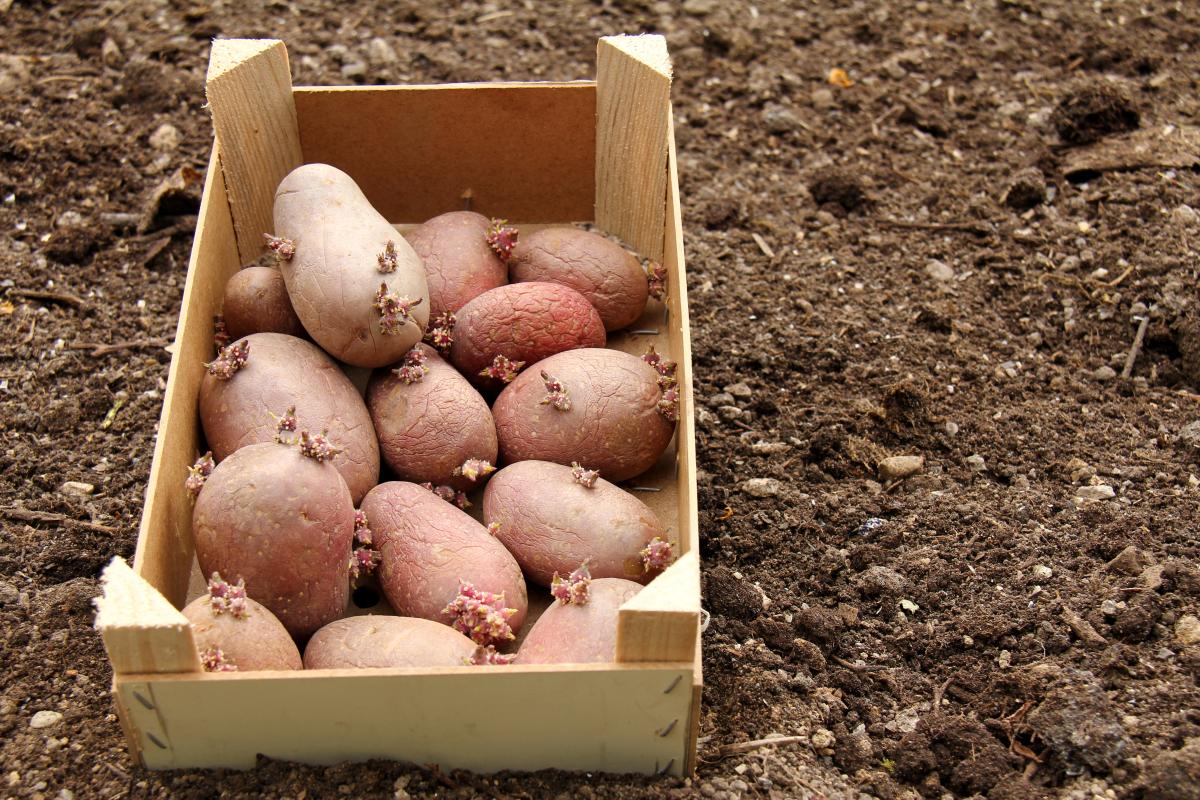 Обработка картофеля перед посадкой от проволочника