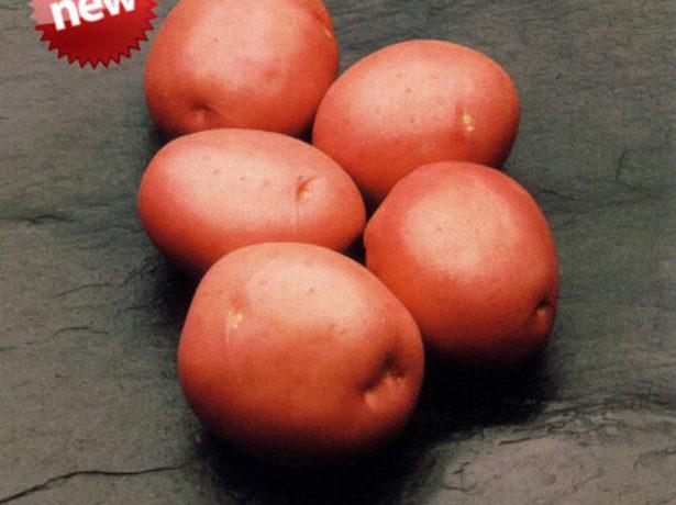Клубни картофеля Красавчик