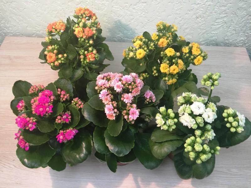 И зимой у каланхоэ бывает лето: особенности ухода за цветком