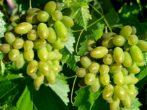 Арлекин: описание винограда 2012 года рождения
