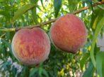 Сорт персика Сочный