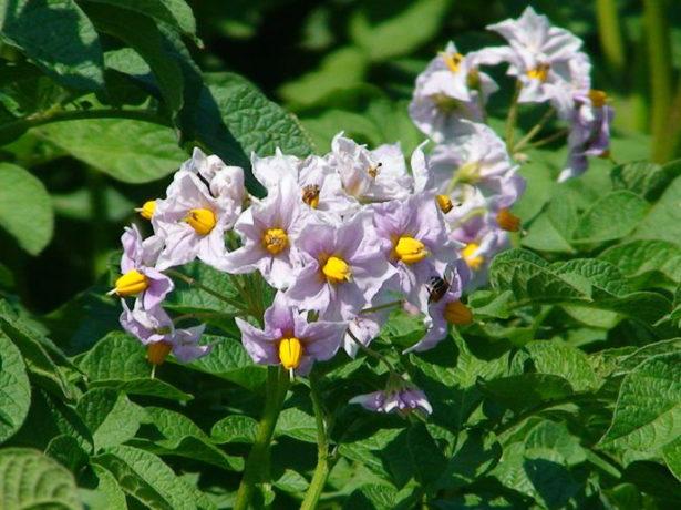 Цветение картофеля сорта Славянка