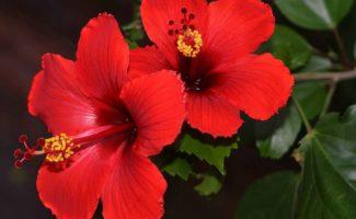 Что сделать зимой, чтобы китайская роза весной роскошно цвела