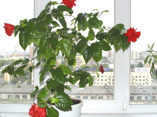 Гибискус на окне