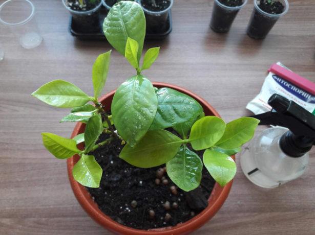 Опрыскивание растения Фитоспорином-М