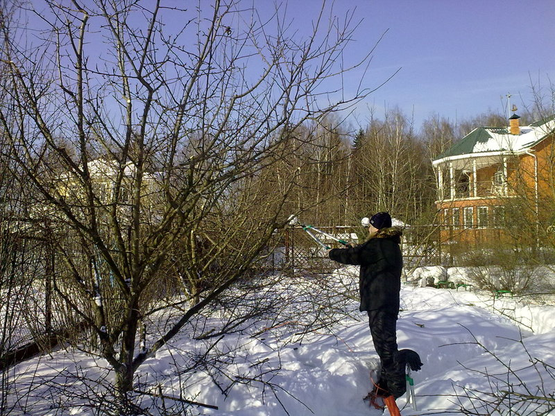 Нужна ли яблоням и другим плодовым деревьям зимняя обрезка