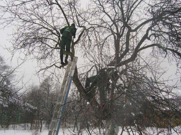 Обрезка сильно загущённого дерева зимой