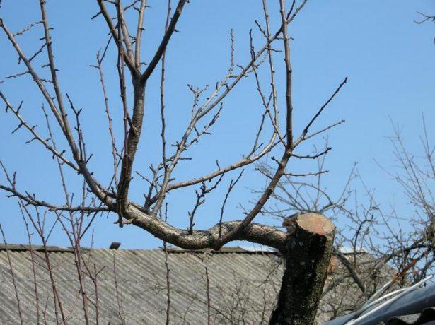 Спилленное дерево и побеги замещения