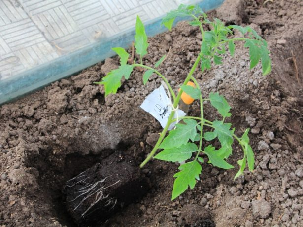 Посаженная наклонно рассада томата