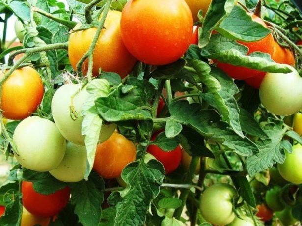 Урожай томатов Клуша