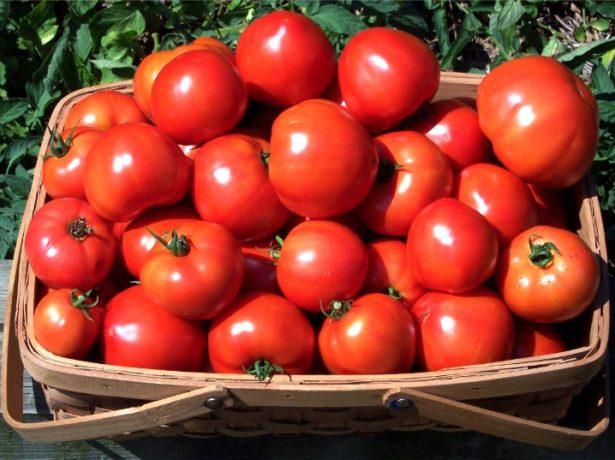 Урожай томатов сорта Клуша