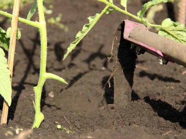 Рыхление почвы на грядке с томатами