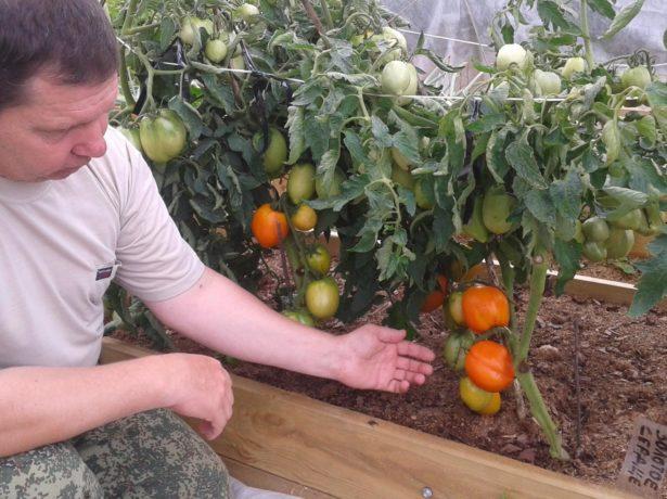 Мужчина рядом с кустами помидоров Золотое сердце