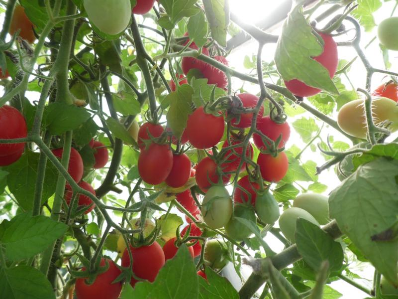 Томат Клюква в сахаре: характеристика и описание сорта, урожайность с фото