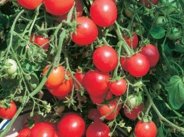 Урожай томатов Клюква в сахаре
