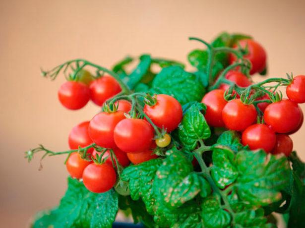 Куст томатов сорта Клюква в сахаре