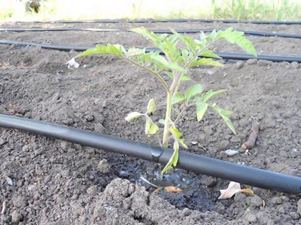 Полив томатов капельным способом