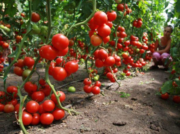 Спелые томаты на кустах
