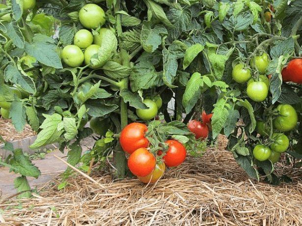 Мульча на помидорной грядке