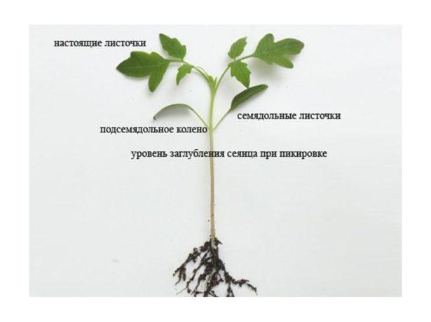 Схема ростка томата