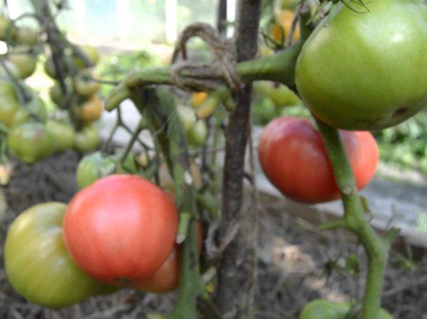 Куст томатов Розовые щёчки