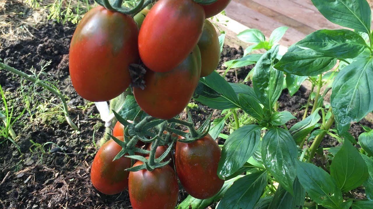 Де Барао – надёжный бразильский сорт поздних томатов