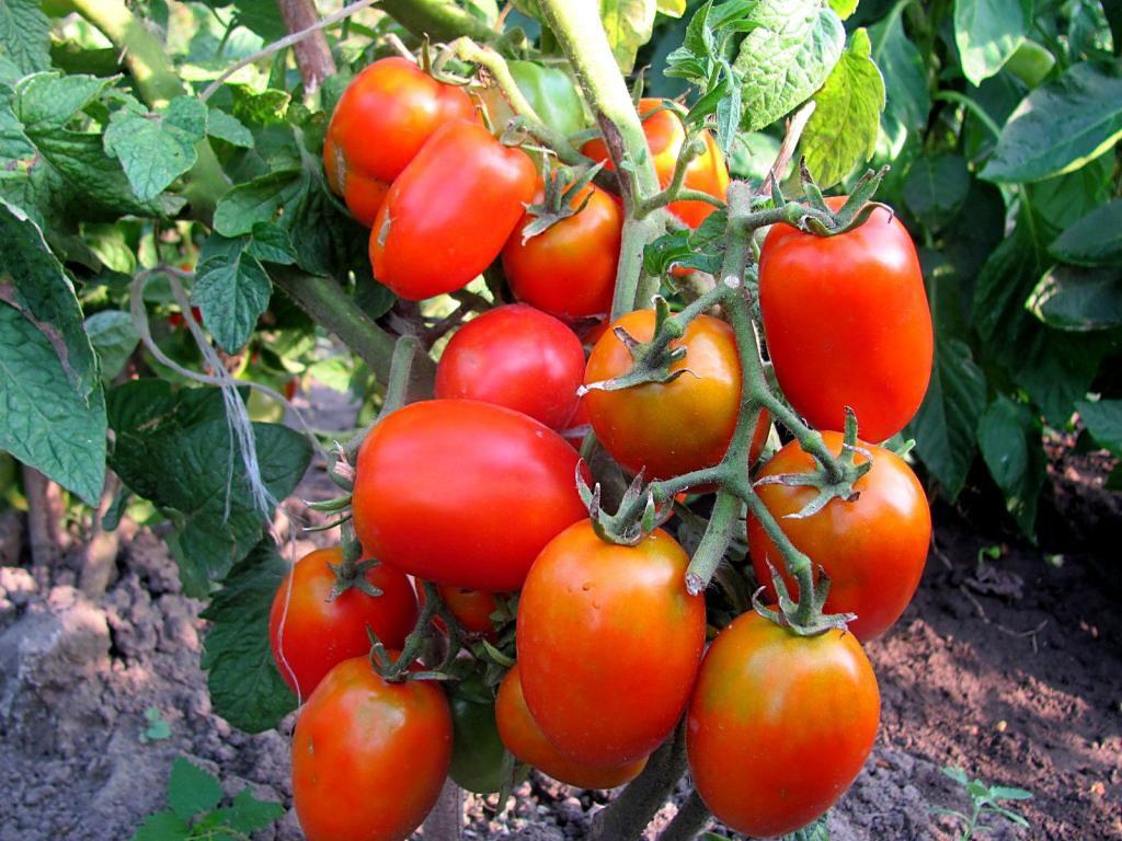 Салатный томат Розовая стела