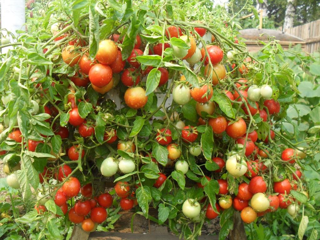 Карликовый томат сорта Гном  - любимец многих дачников