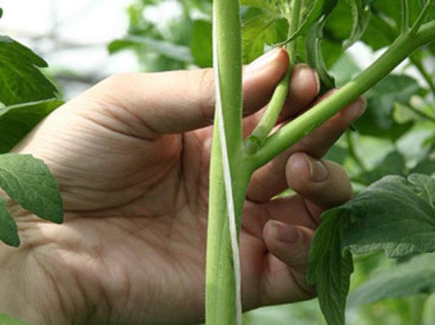 Удаление лишних веток томата