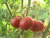 томаты алсу