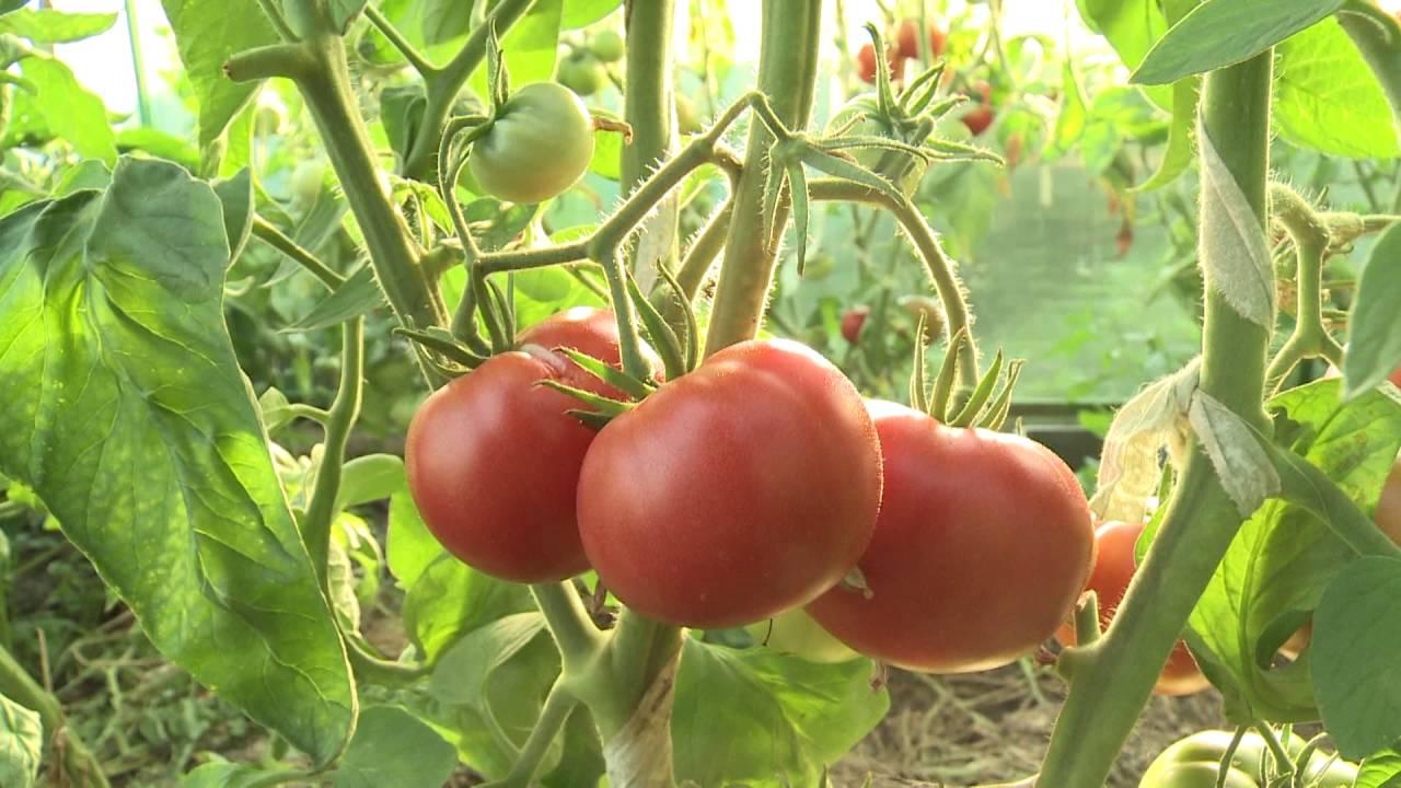 Салатные крупноплодные томаты Алсу