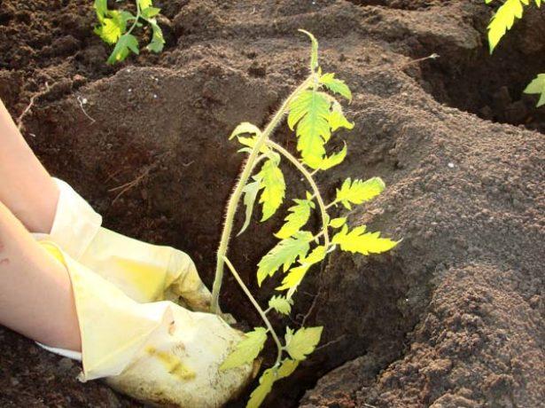 Высадка помидорной рассады в грунт
