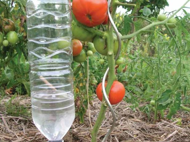 Капельный полив томатов из пластиковой бутылки