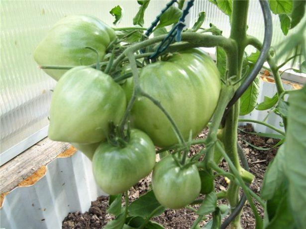 Зелёные томаты Бычье сердце