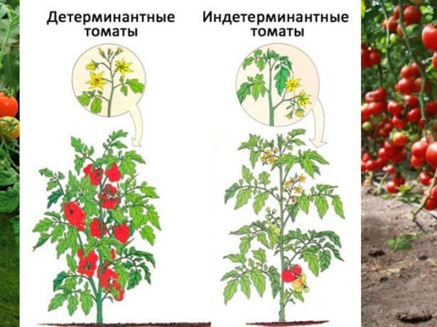 Отличие детерминантных томатов от индерминантных
