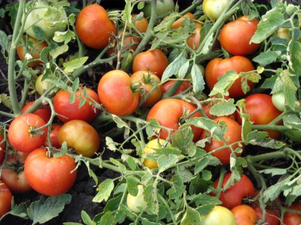 Сорт томатов Агата