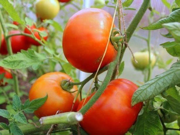 Сорт томатов Санька
