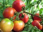 Сорт томатов Ляна