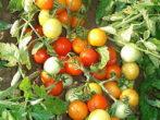 Сорт томатов Гном