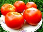 Сорт томатов Белый налив 241