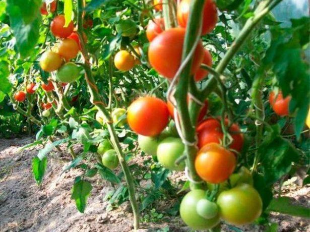 Сорт томатов Ля-ля-фа